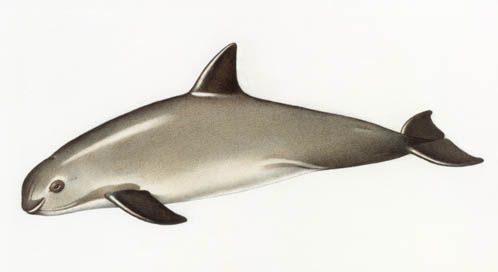 Vaquita (illustration), © Karel Havlicek/National Geographic Creative