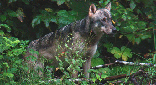 Wolf at Tongass National Forest, © Sam Catron