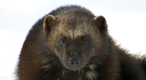 Wolverine Basic Facts About Wolverines Defenders Of