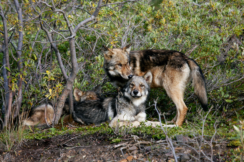 Wolves of Denali, © Judge Chuck Edelstein
