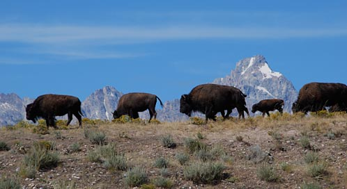 Bison, © Michele Keating