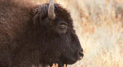 Speak out for Bison - Bozeman