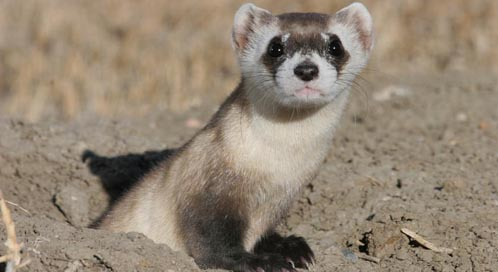 Endangered Ferrets Return to Fort Belknap | Defenders of ...