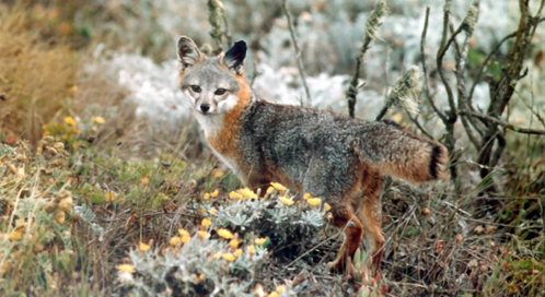 Channel Island Fox, Photo U.S. National Park Service