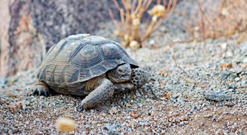 Desert Tortoise, © Justin Ennis / Flickr user Averain