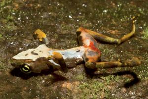 Frog with Chytrid Fungus, © Brian Gratwicke