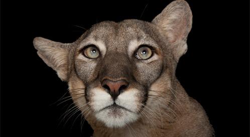Florida Panther (captive), © Joel Sartore