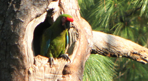 Military macaw, © Maria Elena Sanchez