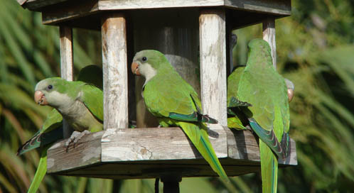 Parrots, © Joan Eubank