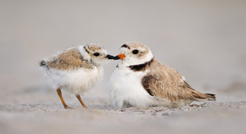 Piping Plover, © Melissa Groo
