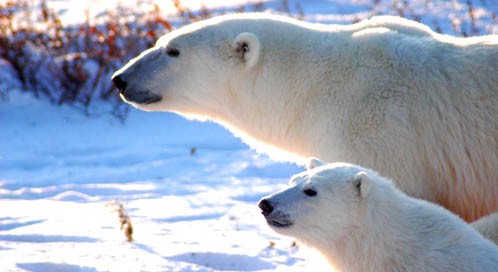 polar bear | Basic Facts About Polar Bears | Defenders of Wildlife