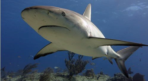 Reef Shark, © Ed Gullekson