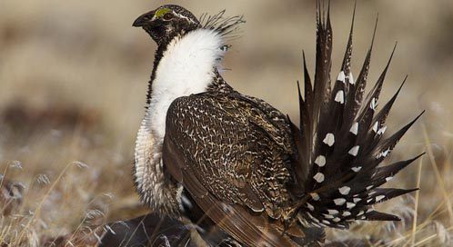 Sage-Grouse, Photo: USFWS Pacific Southwest Region