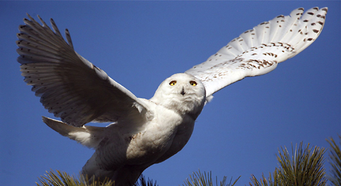 Snowy Owl, © Mark Brown