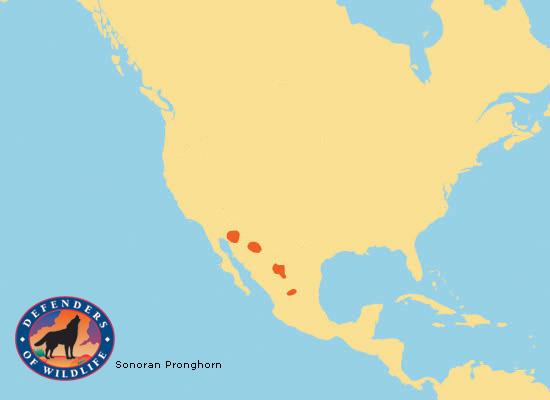 map of sonora mexico with Sonoran Pronghorn on 6157605907 also Hotel The Grand Mayan Wyndham Nuevo Vallarta nuevo Vallarta additionally Sturnira Ludovici 1530 furthermore Sonoran Pronghorn likewise Index.