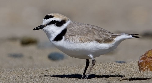 Western Snowy Plover, © Photo by Michael L. Baird