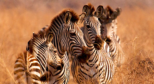 Zebra, © Paul Higham
